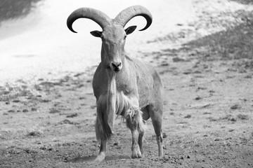 Big ram on a farm