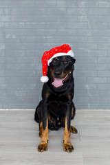 french dog wearing a santa claus hat