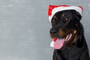 french dog head with tongue hanging out in santa claus hat, copyspace