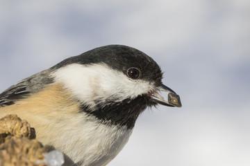 black capped chickadee in winter