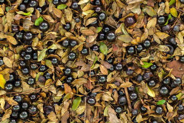 A lot of ripe Jaboticaba fallen in the ground - flat lay full-blown fruits
