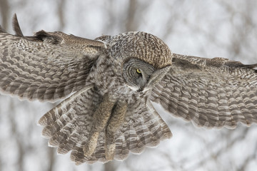 great grey owl in winter