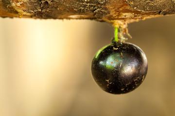 Alone jaboticaba fruit on trunk - full-blown sweet ripe fruit - brazil