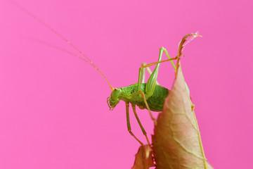 Green grasshopper on rose-branch in studiosetting