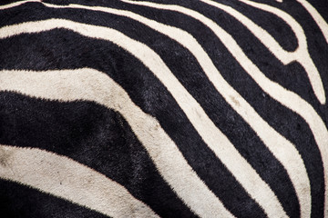 Close up of a Zebra Nogorogio Crater