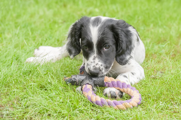 playful spaniel puppy chewing a tug toy