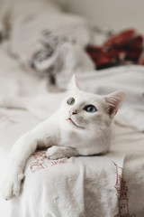 white odd-eyed cat