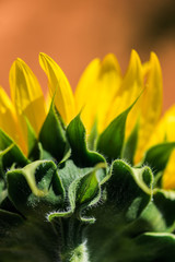 close detail of sunflowers