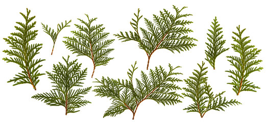 Fresh green pine leaves isolated on white background