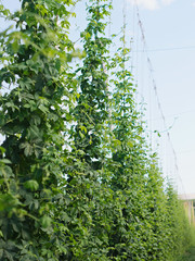 Rows of hop plants