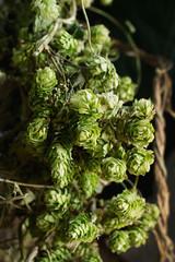 Vine of hops against rustic wood