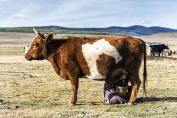 Milking cows Mongolian