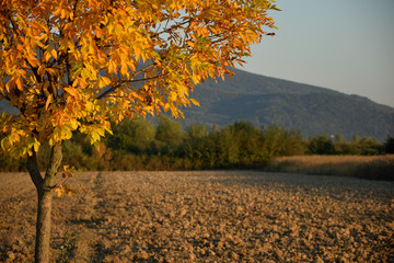 Autumn yellow tree on a scorched field against a background of mountain and forest