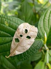 Vegetal leaf looking like a angry face - pareidolia