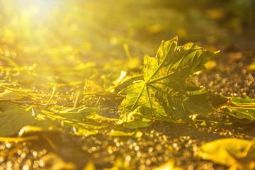 Ahornblatt im Sonnenlicht