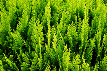 Leaf texture of thuja trees. Green cypress natural background. Evergreen trees Wall mural