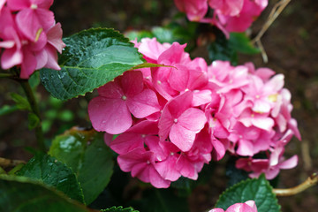 Pink hydrangea flower in rainy day