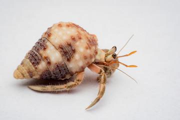 Land hermit crabs, Coenobita, hermit crabs