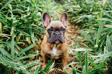A brown french bulldog puppy sitting in shrubs outside.