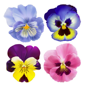 Pansy flowers. Hand drawn vector illustration of a garden varieties of Viola tricolor on transparent background, realistic style.