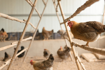 Free range (uncaged) chickens in a chicken house.
