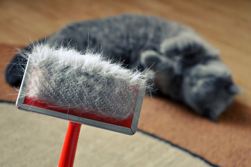 Brush for combing the cat fur with hair. British blue short hair cat on a blurry background.
