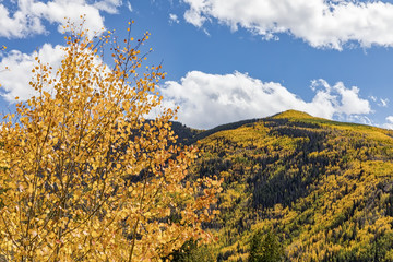 Aspen Trees on the mountain above the town of Aspen Colorado in their peak fall foliage coloring.