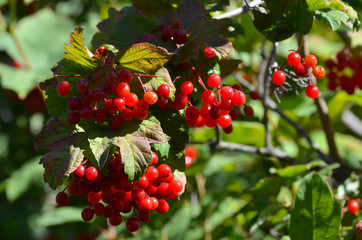 Ripe berries of a viburnum in an autumn garden