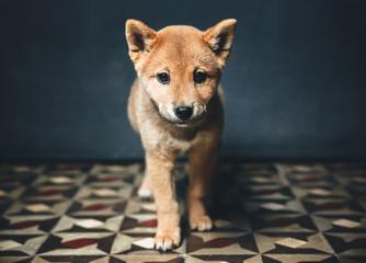 Adorable shiba inu puppy