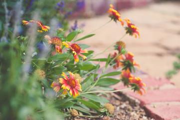Gaillardia (Indian Blanket Flower) In Perennial Border