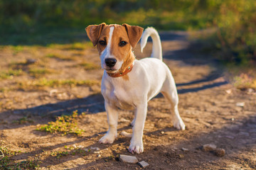 Portrait of Jack Russell Terrier. puppy dog walking on autumn alley