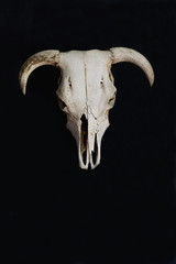 White cow skull on black wall