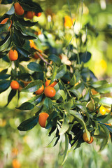 Kumquats Growing On Tree in Orchard