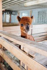 An alpaca or llama standing in a barn stall.