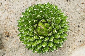 Agave victoria reginae,succulent plant in desert