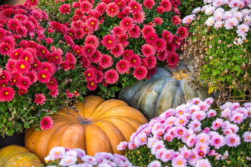 Yellow large pumpkins lie on the ground, between rows of red flowers - chrysanthemums. Colorful autumn in Moscow city, Russia.