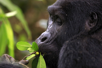 Close-up of a Mountain Gorilla (Gorilla beringei beringei) Feeding. Bwindi Impenetrable National Park, Uganda