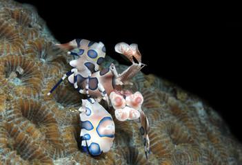 Harlequin Shrimp (Hymenocera Elegans), Lembeh Strait, Indonesia