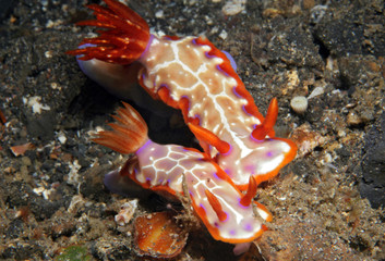 Hypselodoris Iacula Couple. Lembeh Strait, Indonesia