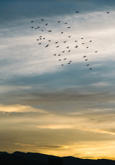 Flock of birds in flight during sunset
