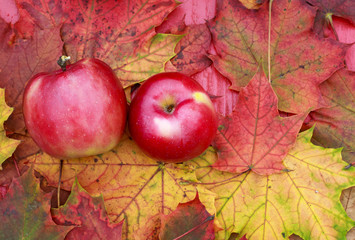 couple of ripe juicy red Apple lying on a wooden table surrounded by colorful maple leaves