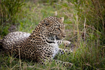A beautiful leopard sits resting in the tall grass in Kenya's Masai Mara National park