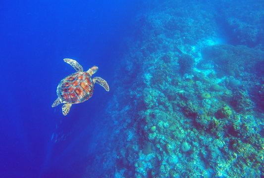 Green sea turtle in deep blue sea water. Sea tortoise top view underwater photo.