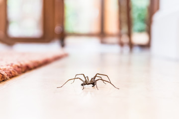 common house spider on a smooth tile floor seen from ground level in a kitchen in a residential home Fototapete