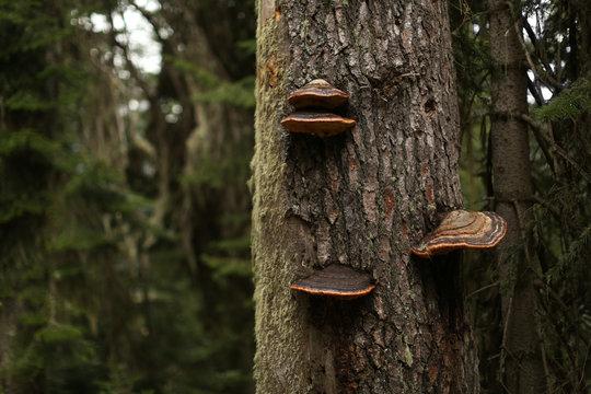 Mushroom on trunk