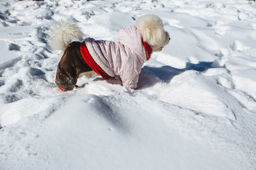 Dog wearing clothes running in the snow