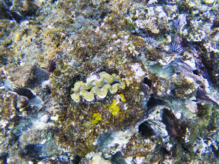 Clam fish in shell. Exotic island shore shallow water. Tropical seashore landscape underwater photo.