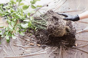 Gardening. Displanting butchers broom