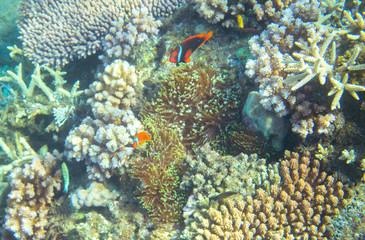 Anemonefish in coral reef. Tropical seashore inhabitants underwater photo