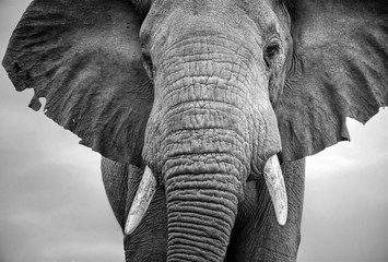 Close-up of a male elephant with ears extended